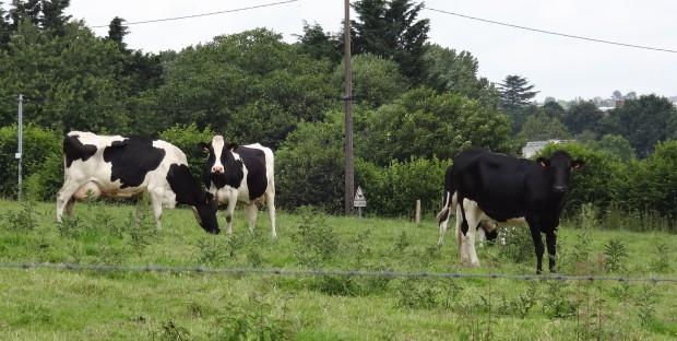 3 vaches holstein au pré