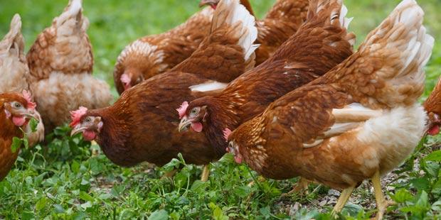 des poules dans un pré