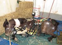Installation complexe du harnais Andersen® sur cheval tranquillisé