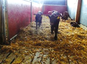 Enquête sur les facteurs de risque de la mortalité des veaux laitiers dans les Vosges