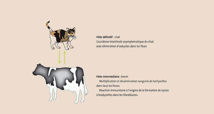 Figure 1: Cycle hétéroxène du chat au bovin