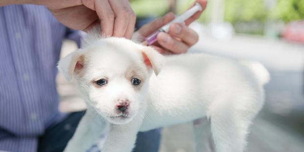 Vaccination d'un chien