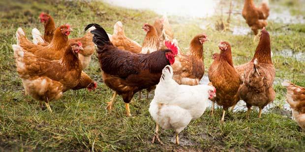 Des poulets en plein air