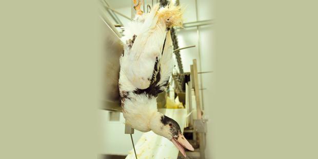 Canard dans un abattoir