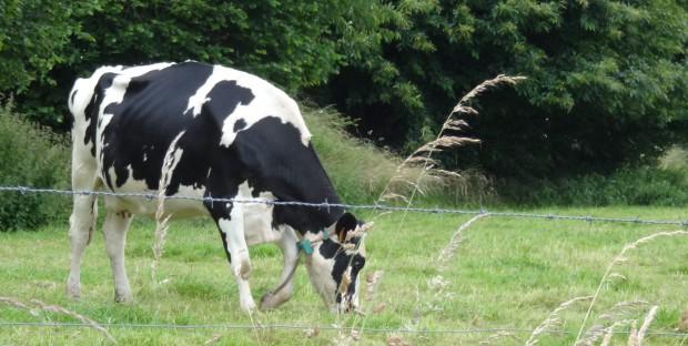 génisses laitières au pré