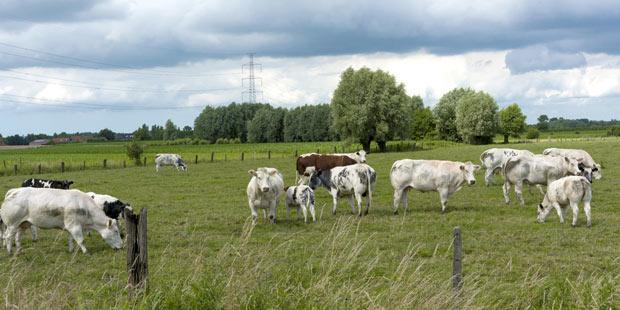 troupeau de vaches blanc bleu belges dans un pré