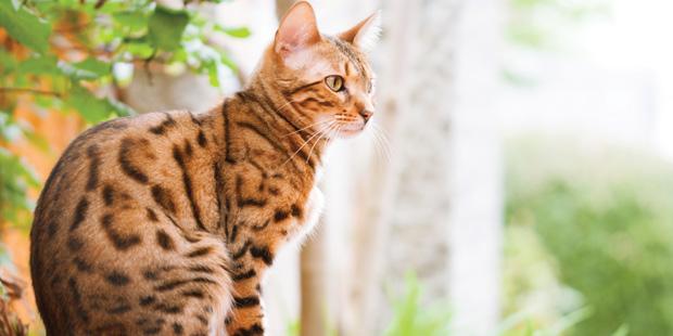 Le bengal est un exemple de chat hybride, issu d'un croisement entre un chat domestique et un félin sauvage.