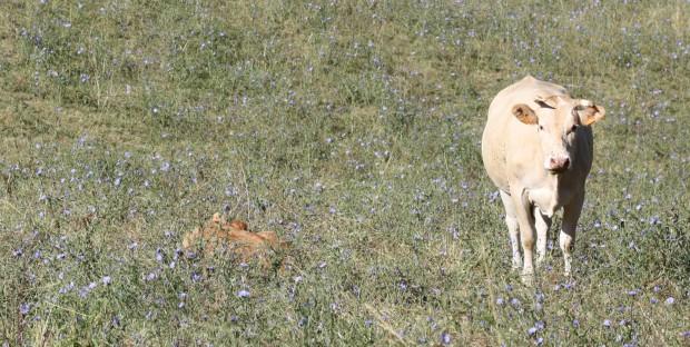 vache blonde d'Aquitaine et son veau au pré