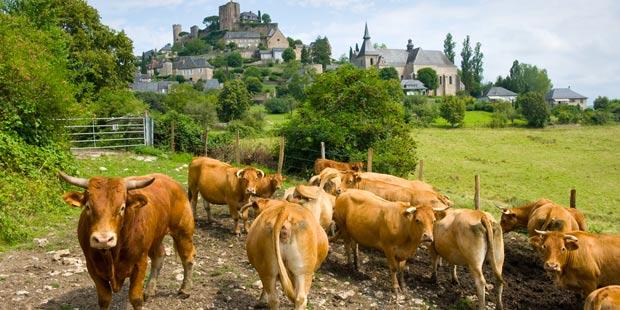 un troupeau de vaches limousines