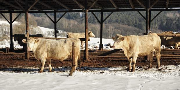 vaches dans la neige