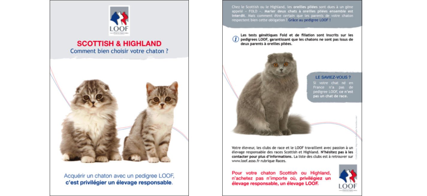 chats de race scottish ou highland