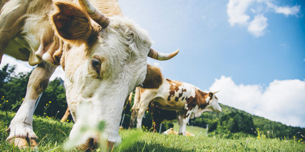 troupeau de jeunes bovins au pré