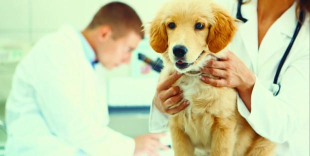 Jeune chien en consultation