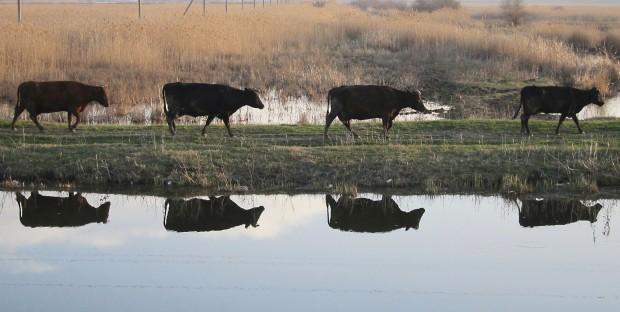 troupeau de vaches se réfléchissant dans une rivière