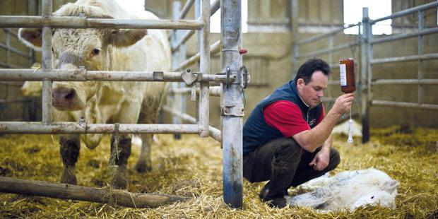 Vétérinaire administrant un antibiotique à un veau
