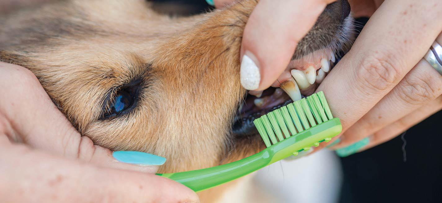 Brossage de dents d'un chien