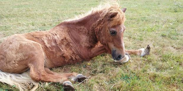 poney, maltraitance