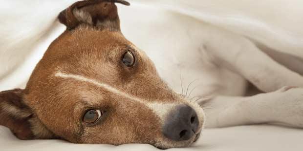 chien épilepsie