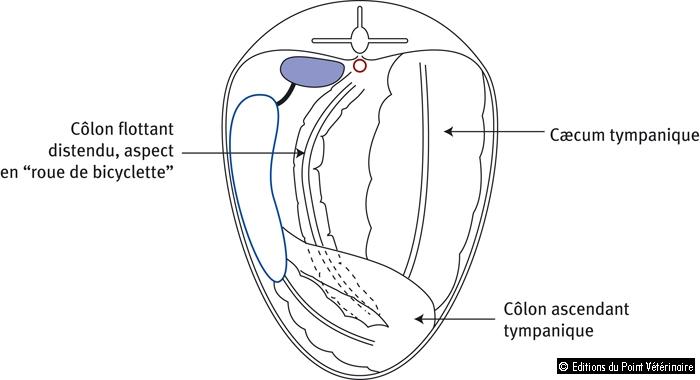 Figure 3: Structures palpables lors de la palpation transrectale chez un cheval ayant une impaction du côlon flottant. Vue caudale