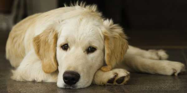 Golden retriever serein
