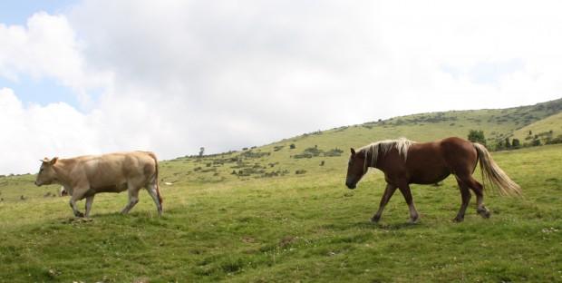 vaches et chevaux au paturage